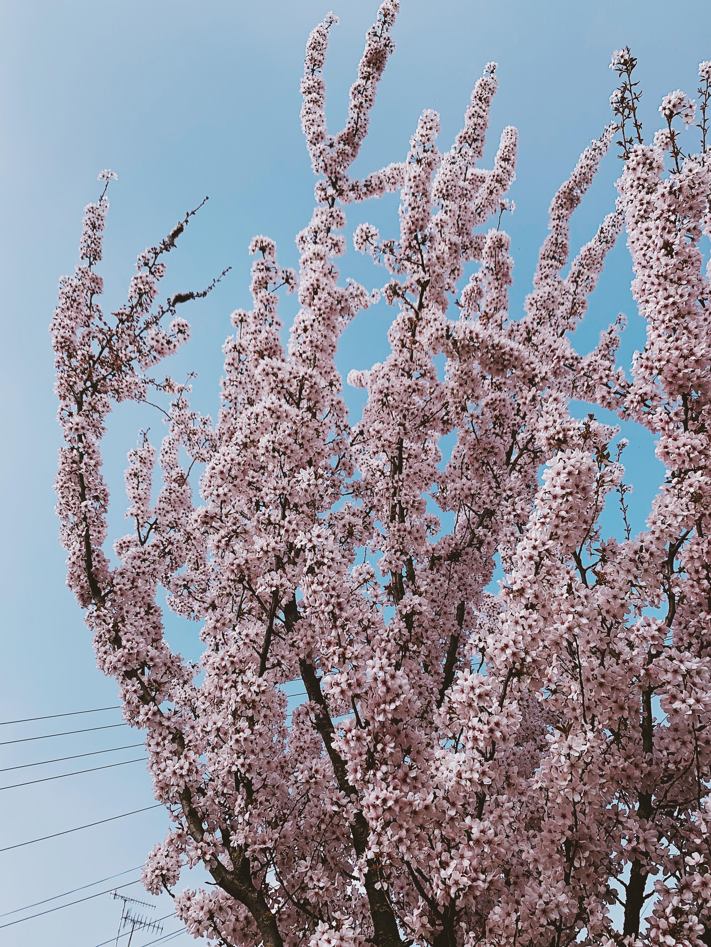 Pink blossom against blue sky
